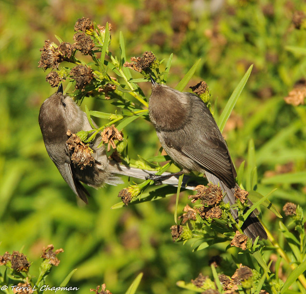 Bushtits (male and female)