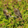 Bushtits (male and female)