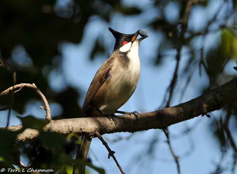Red-whiskered Bulbul eating a berry from a Chinese Fringe Tree
