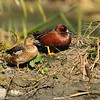 Cinnamon Teal couple