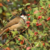 Red-whiskered Bulbul in Cotoneaster bush