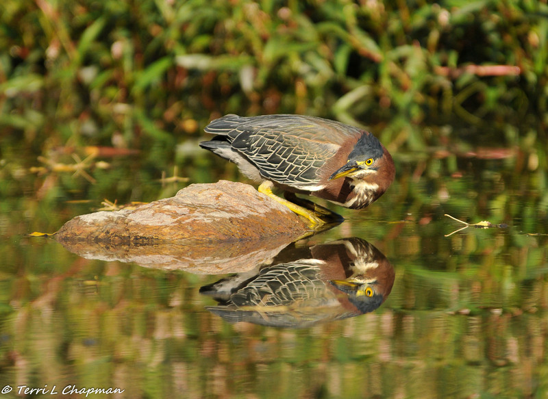 Green Heron on the hunt for a fish