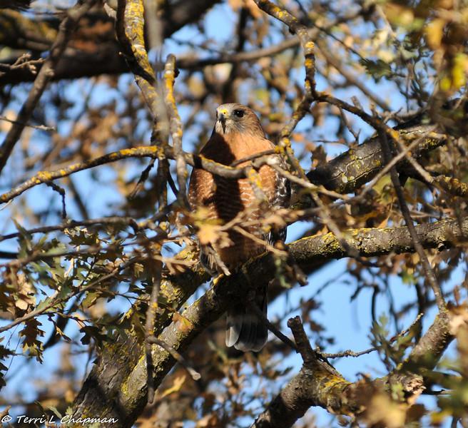 Red-shouldered Hawk in an Oak Tree