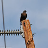 Red-tailed Hawk (dark morph) perched on a telephone pole and searching the field below for prey