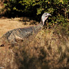 Wild Turkey photographed in Julian, CA