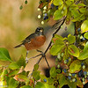 An American Robin in a Chinese Fringe Tree