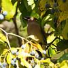 Cedar Waxwing in a Chinese Fringe Tree