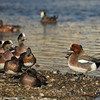 Eurasian Wigeon talking back to the American Wigeons