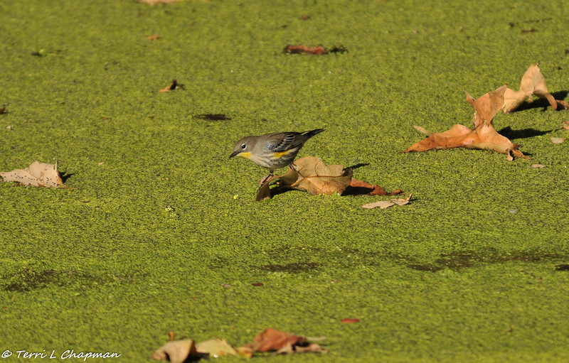 A Yellow-rumped Warbler uses a leaf as a perch to get a drink of water from the pond.