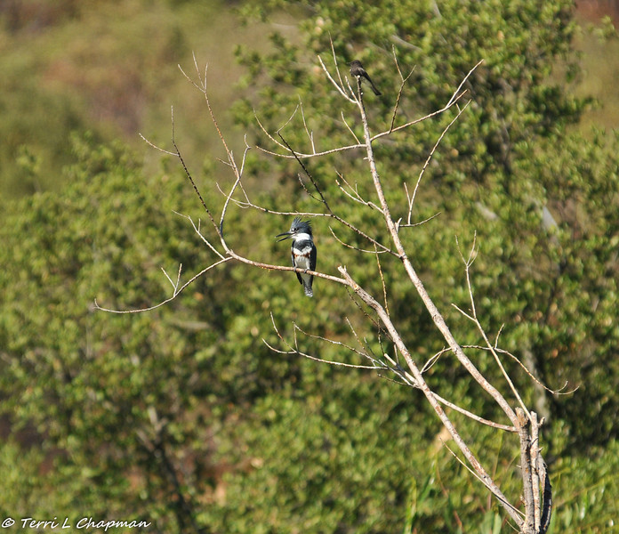 Belted Kingfisher (female) with a Black Phoebe above her