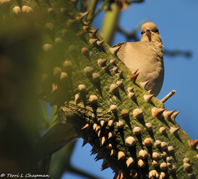 A Mourning Dove perched in a Silk Floss Tree