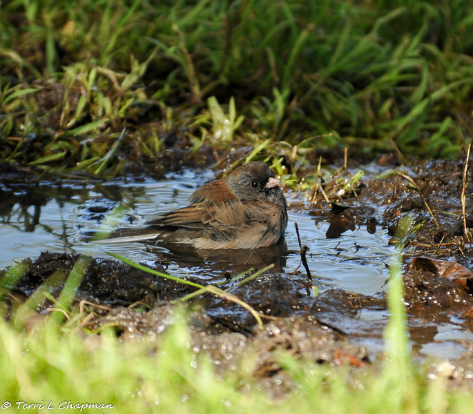 A Dark-eyed Junco wading in a mud puddle