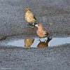 House Finches getting a drink from a street puddle