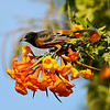 "This image of a male Orchard Oriole, perched on Orange Trumpet Flowers, was featured in the 2017 Spring edition of ""Birds & Bloom"" magazine. This oriole is the smallest of North America's orioles and winters in Mexico, Central America and South America. Thus, this lone bird is considered a rare bird sighting for the Los Angeles area."