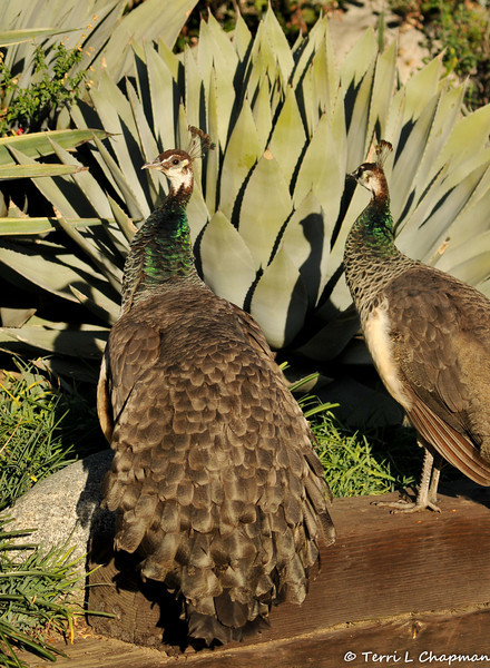 Two Indian Peahens