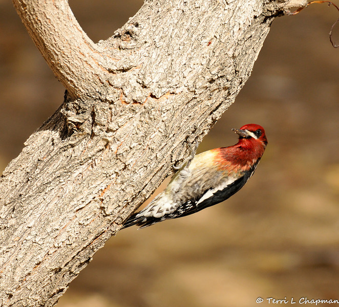A male Red-breasted Sapsucker