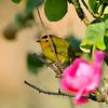 A male Wilson's Warbler