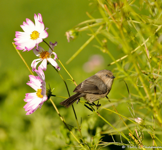 A female Bushtit with Cosmos flowers