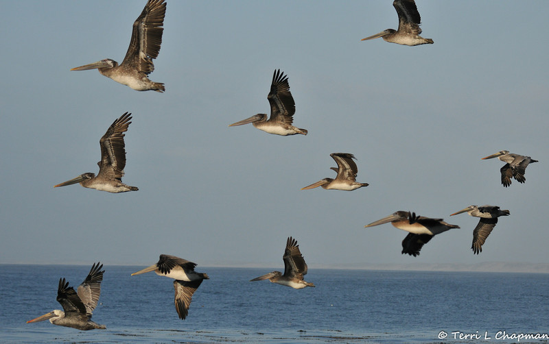 An adult and many juvenile Brown Pelicans in flight
