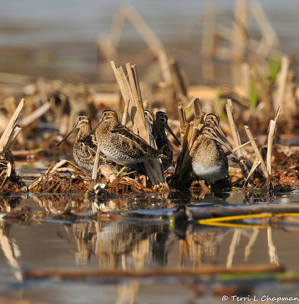Wilson's Snipes resting in vegetation in a lake and well camouflaged. A common shorebird of wet, grassy spots, the Wilson's Snipe has an extremely long bill that it uses to probe in the mud for small invertebrates.