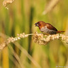 A male Scaly-breasted Munia or Spotted Munia, known in the pet trade as Nutmeg Mannikin or Spice Finch