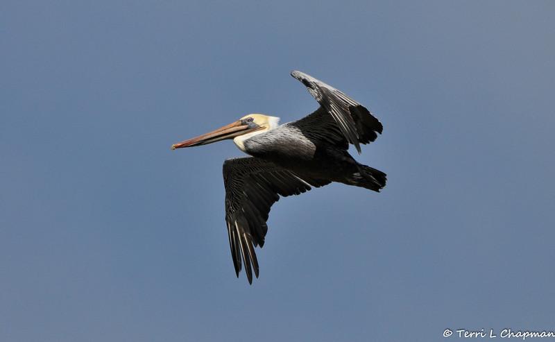 An adult Brown Pelican in flight