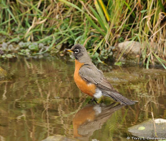 An American Robin taking a bath in a pond