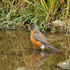 An American Robin taking a bath in a pond
