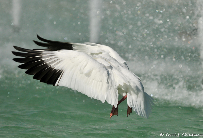 A Ross's Goose in flight