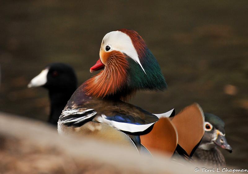 A male Mandarin Duck