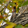 A male Northern Flicker in an Elm tree