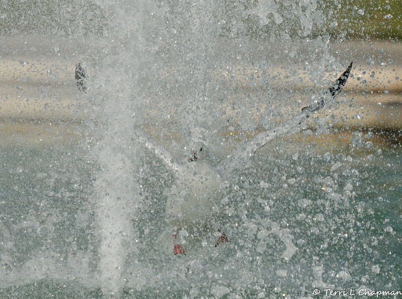A Ross's Goose flying through the fountain at the LA Arboretum