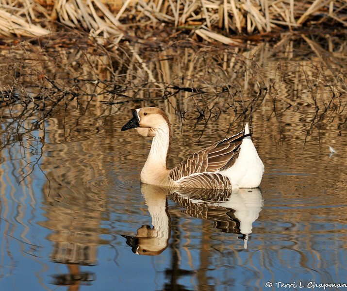 "A ""Domestic"" Swan Goose. The wild form of this goose lacks the large knob at the base of the bill. The Swan Goose, native to eastern Eurasia, is sometimes called a Chinese goose."