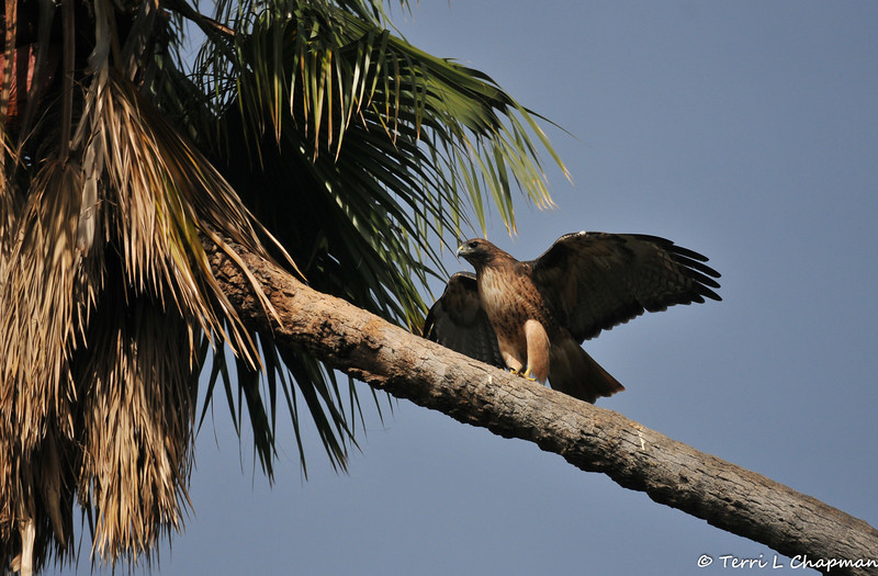 A Red-tailed Hawk walking up the trunk of a Palm tree