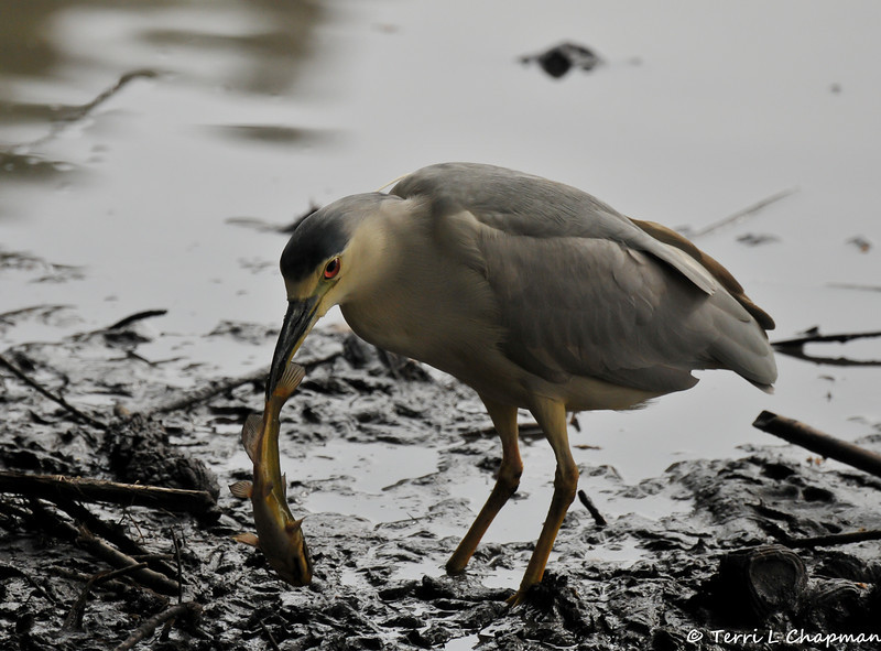 A Black-crowned Night Heron with a fish