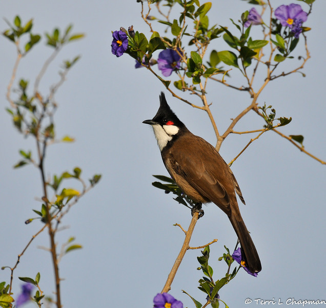 A Red-Whiskered Bulbul perched in a Blue potato bush. This bird is native to tropical and subtropical Asia, but has been introduced into North America and Australia as caged birds and many escapees have found their way to California. This bird was photographed in Arcadia, CA. where a large flock lives