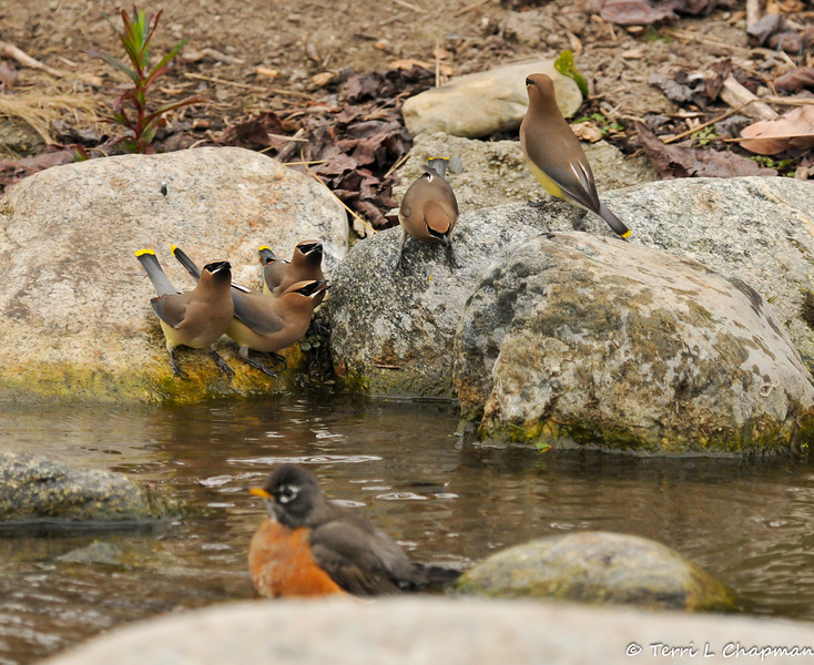 Cedar Waxwings preparing to drink from a pond (with an American Robin bathing in the foreground)