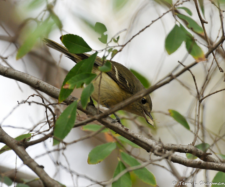 Hammond's Flycatcher getting ready to eat a stink bug