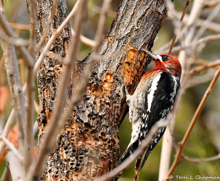 A Red-breasted Sapsucker