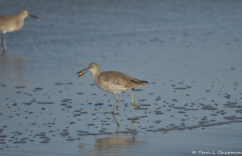 A Willet with a small crab in its bill