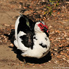 A domestic Muscovy Duck living at Ken Malloy Park in Harbor City, CA.