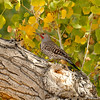 A male Northern Flicker
