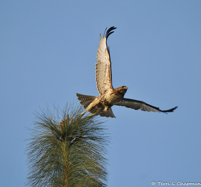 A juvenile Red-tailed Hawk launching off the top of a Pine Tree