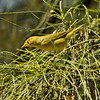 A female Yellow Warbler