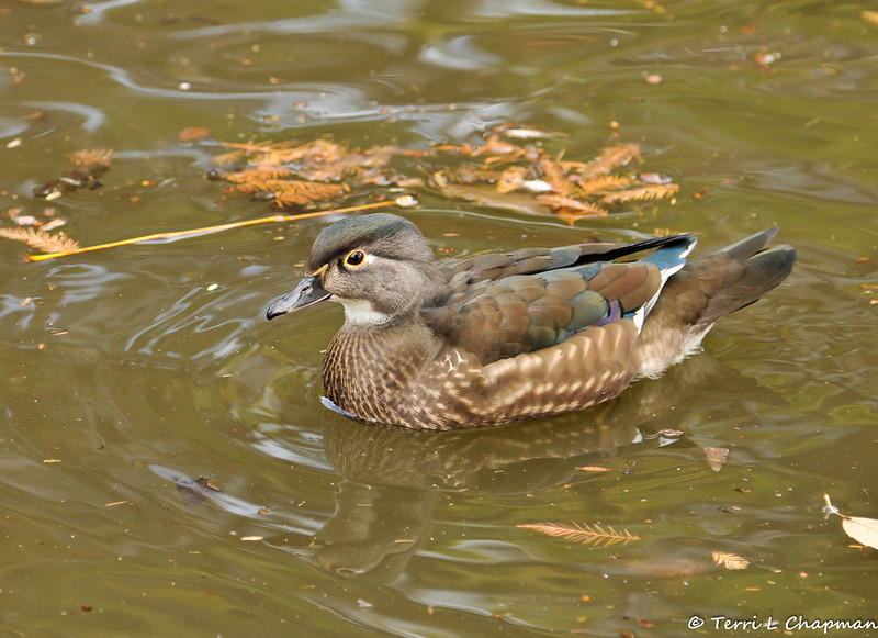 A breeding female Wood Duck showing her yellow ring around the eye