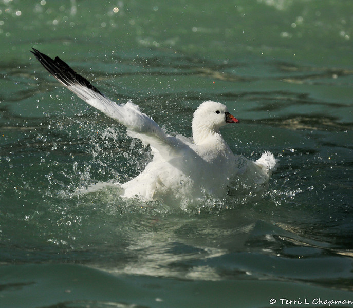 A Ross's Goose taking a bath