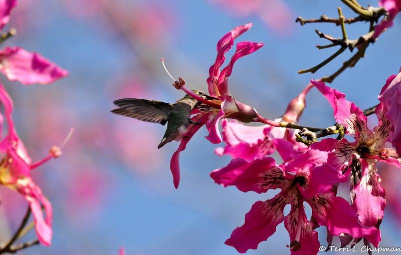 An Anna's Hummingbird drinking nectar from a Silk Floss bloom