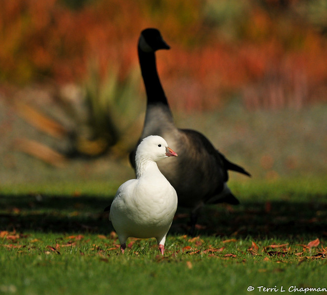A Ross's Goose with a Canada Goose in the background