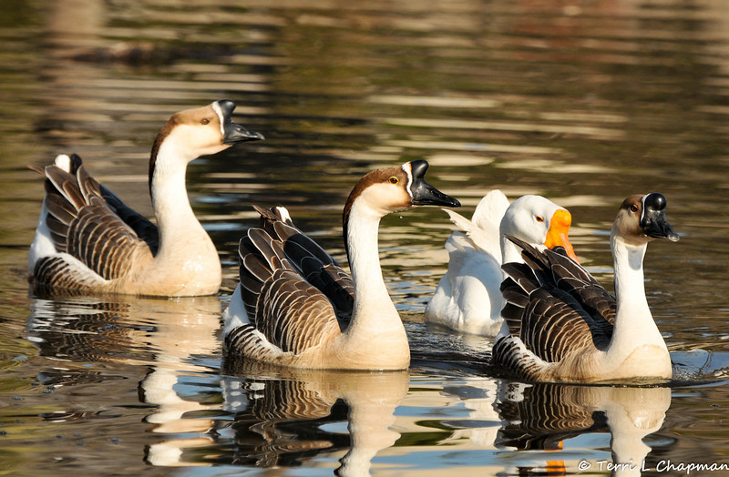 """Domestic"" Swan Geese. The wild form of this goose lacks the large knob at the base of the bill. The Swan Goose, native to eastern Eurasia, is sometimes called a Chinese goose."