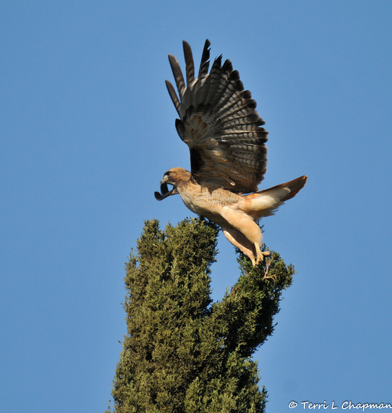 A Red-tailed Hawk launching off the top of a Cypress tree in my yard